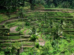 Bali Field Wallpaper 1024 01
