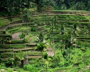Bali Field Wallpaper 1280 01