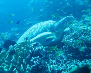 Bunaken Sea Turtle Wallpaper 1280 02